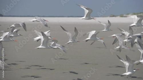 Royal terns flying at the coast