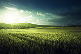 Green field of wheat in Tuscany, Italy - 183681530