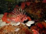 Strahlen-Feuerfisch (Pterois spec.) - 183682930