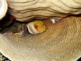 Kleins Falterfisch (Chaetodon kleini) - 183682995