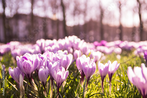 Purple and white crocussus in a field somewhere in the Netherlands