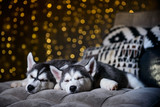 Husky pinks in the background of Christmas lights - 183691959