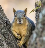 Fox Squirrel posing for its portrait - 183693705