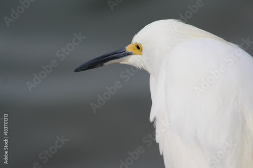 White egret standing by the water