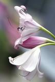 Lily branch