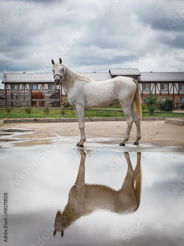 Plexiglas Paarden horse arab baroque white crest portrait mane hair reflection clouds animal farm nature arabian horses