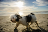 Havanese dog playing on sand beach with sun behind him - 183728334