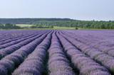 Lavender field near Poruchik Chuchevo village in Bulgaria - 183743197