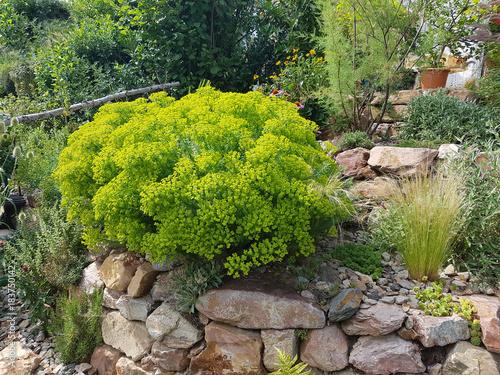 Leinwanddruck Bild Steingarten, Steppenwolfsmilch, Euphorbia, seguieriana