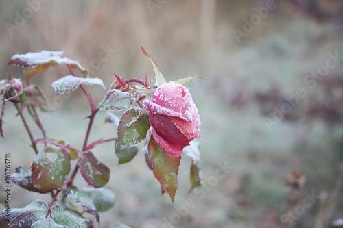 Foto Murales Gelo su boccioli di Rosa in inverno