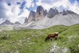 Grazing cow on Italian Alps, Three Peaks of Lavaredo