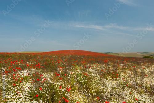 Staande foto Klaprozen field of wild poppies and daisies rural england