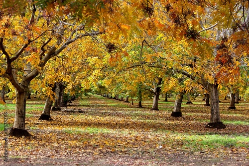 Walnut orchard in the fall © Janet