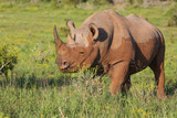 Rare Black Rhino with Muddy Hide