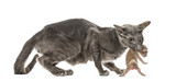 Mother Peterbald cat carrying her new born baby in her mouth
