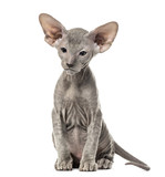 Peterbald kitten, cat, 3 mouth old, sitting, isolated on white