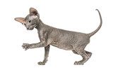 side view of apeterbald kitten, cat, isolated on white