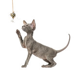 Peterbald kitten, cat, playing with a toy, isolated on white