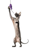 Peterbald, naked cat, playing with a toy, isolated on white
