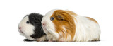 Two guinea pigs in a row, isolated on white