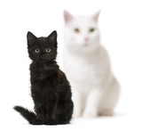 Black cat kitten and a white cat blurry in background, sitting,
