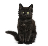 Black cat kitten sitting and looking at the camera, isolated on
