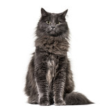 Mixed-breed cat whit a main coon  (1 year old), isolated on whit