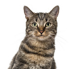 Close-up on a striped mixed-breed cat (2 years old) isolated on
