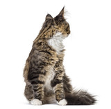Maine Coon looking back (5 months old)