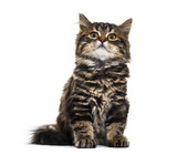 Stripped kitten mixed-breed cat sitting, looking upisolated on w
