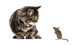 Stripped kitten mixed-breed cat looking down at a real mouse, is