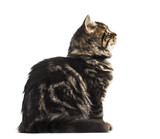 Side view of a stripped kitten mixed-breed cat sitting and looki