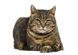 Mixed-breed cat crossed legs lying down and relaxing crossed leg