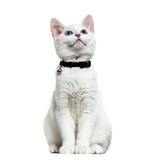 White kitten mixed-breed catwearing a bell collar and looking up