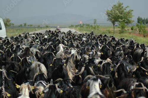 Foto op Canvas Donkergrijs Yörüklerin keçi sürüsü ile göçü