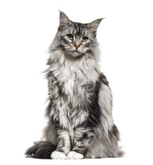 Main coon cat, sitting, isolated on white © Eric Isselée