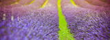 Sunset over a summer lavender field - 183795972