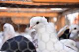 pigeons - 183799516