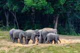Asian elephant or Elephas maximus,  a small colony of elepphant were eating salt lick  in edge of forest with green trees background, Khao Yai National Park , Thailand. - 183808903