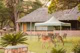 Kudus in einem Dorf in Simbabwe Südafrika - 183820780