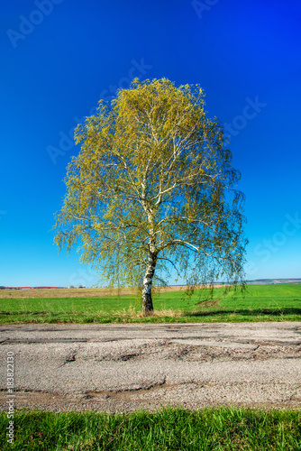 Birch with fresh green leaves next to a country road in spring
