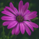 fiore viola su sfondo verde - 183829974