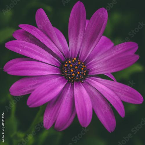 Tuinposter Natuur fiore viola su sfondo verde