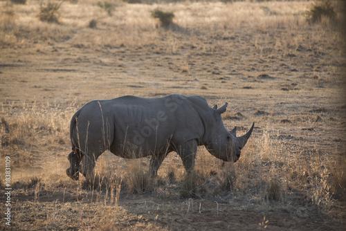Fototapeta Rhino