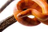 Orange corn snake crawling on a branch and looking forward on white background - 183834195