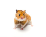 Cute funny Syrian hamster (isolated on white)