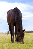 Brown horse grazing on a pasture at summer day - 183840909