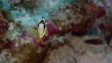 Clark's anemonefish (Amphiprion clarkii) peeking out of its host anemone, WAKATOBI, Indonesia, slow motion - 183842133
