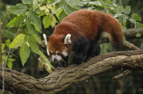 Plexiglas Panda Panda mniejsza na drzewie.