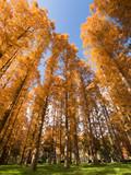メタセコイヤの黄葉 水元公園